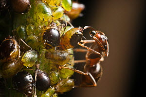 Black ant (Lasius niger) drinking honeydew from aphid, Bristol, England, UK. July.  -  James Dunbar