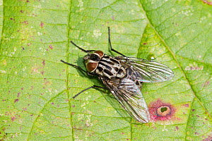 Fly (Graphomya maculata) female, Brockley cemetery, Lewisham, London, UK, October.  -  Rod Williams