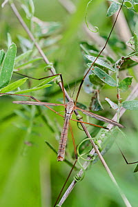 Crane-fly (Tipula paludosa), Sutcliffe Park Nature Reserve, Eltham, London, UK, September. - Rod Williams
