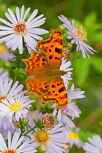 Comma butterfly   (Polygonia c-album) feeding on wild aster, Sutcliffe Park Nature Reserve, Eltham, London, UK, September.  -  Rod Williams