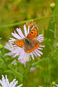 Small copper butterfly  (Lycaena phlaeas) feeding on wild aster, Sutcliffe Park Nature Reserve, Eltham, London, UK, September.  -  Rod Williams