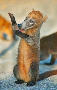 Cozumel Coati (Nasua nelsoni) grooming paw, Cozumel Island, Mexico. Critically endangered endemic species. - Kevin  Schafer