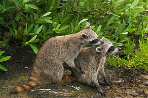Pygmy Raccoon (Procyon pygmaeus) pair about to mate, Cozumel Island, Mexico. Critically endangered endemic species. - Kevin  Schafer