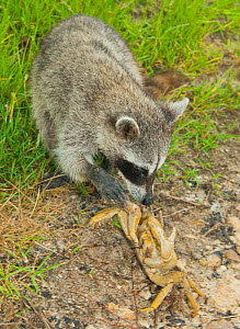 Pygmy Raccoon (Procyon pygmaeus) catching crab, Cozumel Island, Mexico. Critically endangered endemic species. - Kevin  Schafer