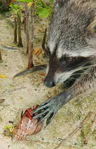 Pygmy Raccoon (Procyon pygmaeus) picking up hermit crab, Cozumel Island, Mexico. Critically endangered endemic species. - Kevin  Schafer