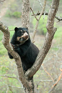 Spectacled Bear (Tremarctos ornatus) female in tree, Chaparri Reserve, Lambayeque Province, Peru - Kevin  Schafer