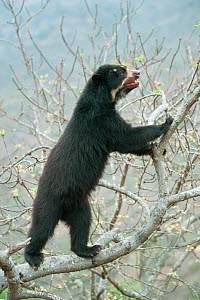 Spectacled Bear (Tremarctos ornatus) female climbing tree, Chaparri Reserve, Lambayeque Province, Peru - Kevin  Schafer