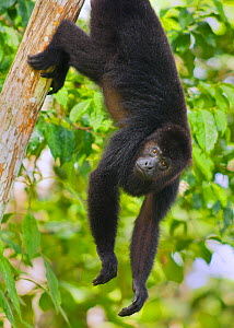 Guatemalan Black Howler Monkey (Alouatta pigra) climbing,  Community Baboon Sanctuary, Belize, Central America. Endangered species.  -  Kevin  Schafer