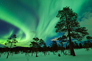 Northern lights above the pine forest, Gjenvollhytta, Klaebu. Sor-Trondelag, Norway. March 2013.  -  Orsolya Haarberg