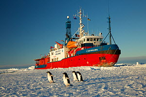 Adelie penguins (Pygoscelis adeliae) in front of French Icebreaker L'Astrolabe, on edge of the fast ice off Dumont D'Urville station, Antarctica. December 2014. - Fred  Olivier