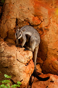 Black-footed rock wallaby (Petrogale lateralis), Cape range National Park, Exmouth, Western Australia  -  Fred  Olivier