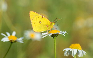 Clouded pale yellow butterfly (Colias hyale) feeding, Laitila, Lounais-Finland / South-Western Finland, Finland, July.  -  Jussi  Murtosaari