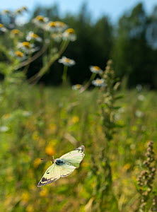 Clouded pale yellow butterfly (Colias hyale) in flight, Laitila, Lounais-Finland / South-Western Finland, Finland, July.  -  Jussi  Murtosaari