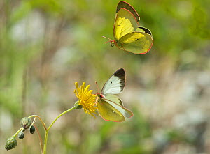 Moorland clouded yellow butterfly (Colias palaeno) one feeding on flower and one in flight, Lieksa, Pohjois-Karjala / North Karelia, Finland, June.  -  Jussi  Murtosaari