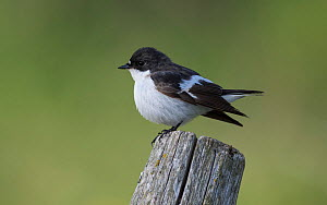 European pied flycatcher (Ficedula hypoleuca) on post, Uto, Lounais-Finland / South-Western Finland, Finland, May.  -  Jussi  Murtosaari