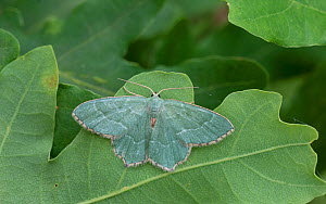 Common emerald moth (Hemithea aestivaria) Lemland, Ahvenanmaa / Aland Islands, Finland, July.  -  Jussi  Murtosaari