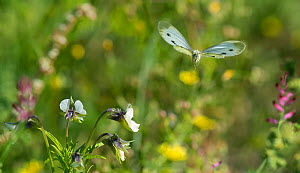 Green-veined white butterfly (Pieris napi) in flight, Jyvaskyla, Keski-Finland / Central Finland, Finland, September.  -  Jussi  Murtosaari