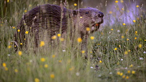 Eurasian beaver (Castor fiber) feeding on grass amongst Meadow buttercups (Ranunculus acris) near a pond in a large enclosure, Devon, England, UK, June. Captive.  -  Nick Upton