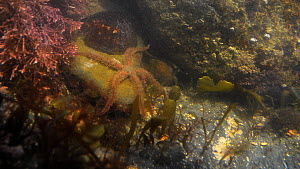 Common brittle star (Ophiothrix fragilis) moving in a rockpool, with a Common limpet (Patella vulgata) nearby, Cornwall, England, UK, September.  -  Nick Upton