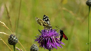 Slow motion clip of a Marbled white butterfly (Melanargia galathea) nectaring on a Greater knapweed (Centaurea scabiosa) flower, with a Six-spot burnet moth (Zygaena filipendulae) landing alongside it...  -  Nick Upton