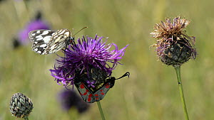 Pair of Six-spot burnet moths (Zygaena filipendulae) mating on a Greater knapweed (Centaurea scabiosa) flower, with a Marbled white butterfly (Melanargia galathea) landing to nectar before taking off...  -  Nick Upton
