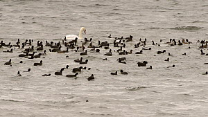 Slow motion clip of a flock of Coots (Fulica atra) swimming, diving and dabbling alonside Wigeon (Anas penelope), Tufted duck (Aythya fuligula), Gadwall (Anas strepera) and a Mute swan (Cygnus olor),...  -  Nick Upton