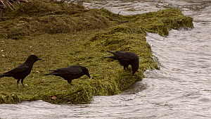 Three Carrion crows (Corvus corone) foraging on a lake shore on a windy day, jumping to avoid water splashes, Rutland Water, Rutland, England, UK, November. - Nick Upton