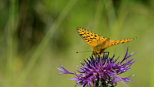 Close-up of a Dark green fritillary (Argynnis aglaja) nectaring on a Greater knapweed (Centaurea scabiosa) flower and flying off, Wiltshire, England, UK, July. - Nick Upton