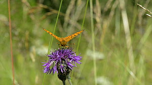 Dark green fritillary (Argynnis aglaja) nectaring on a Greater knapweed (Centaurea scabiosa) flower and flying off, Wiltshire, England, UK, July.  -  Nick Upton