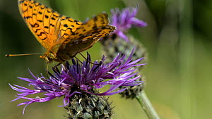Slow motion close up view of a Dark green fritillary (Argynnis aglaja)landing to feed from a Greater knapweed (Centaurea scabiosa) flower and displacing a Marmalade hoverfly (Episyrphus balteatus), Wi... - Nick Upton