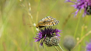 Slow motion clip of a Dark green fritillary butterfly (Argynnis aglaja) nectaring on a Greater knapweed (Centaurea scabiosa) flower and being joined by a female Thick-legged flower beetle (Oedemera no... - Nick Upton