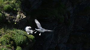 Slow motion clip of a Fulmar (Fulmarus glacialis) vocalising from its nest site on a cliff as another flies nearby, Cornwall, England, UK, April. - Nick Upton