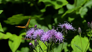 Gatekeeper butterfly (Pyronia tithonus) nectaring on Saw-wort flowers (Serratula tinctoria), with a Silver-washed fritillary (Argynnis paphia) flying nearby, Lower Woods Gloucestershire Wildlife Trust... - Nick Upton