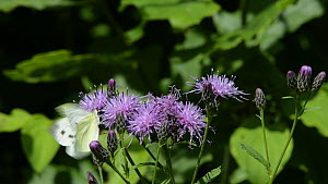 Green-veined white butterfly (Pieris napi) nectaring on and flying around Saw-wort (Serratula tinctoria) flowers, with a Drone fly (Eristalis tenax) also landing briefly, Lower Woods Gloucestershire W... - Nick Upton