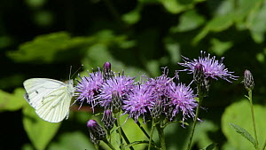 Slow motion clip of a Green-veined white butterfly (Pieris napi) landing to nectar on Saw-wort (Serratula tinctoria) flowers before flying off, Lower Woods Gloucestershire Wildlife Trust reserve, Engl... - Nick Upton