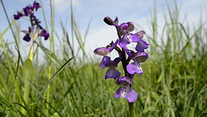 Green winged orchid (Anacamptis morio) in flower, Clattinger Farm Wiltshire Wildlife Trust reserve, England, UK, May.  -  Nick Upton