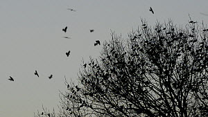 Jackdaws (Corvus mondedula) flying and settling in trees at their roost site at dusk, with Greylag geese (Anser anser) flying past, Gloucestershire, England, UK, December. - Nick Upton