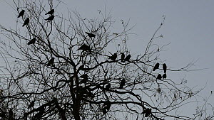 Jackdaws (Corvus mondedula) silhouetted perched in a tree at their roost site at sunset, Gloucestershire, England, UK, December. - Nick Upton