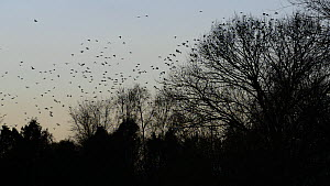 Jackdaws (Corvus mondedula) flying and settling in trees at their roost site at dusk, Gloucestershire, England, UK, December. - Nick Upton