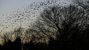 Flock of Jackdaws (Corvus mondedula) taking off from their roost site, Gloucestershire, England, UK, December.  -  Nick Upton