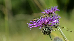 Slow motion clip of Marmalade hoverflies (Episyrphus balteatus) feeding from a Greater knapweed (Centaurea scabiosa) flower, before taking off, Wiltshire, England, UK, July. - Nick Upton