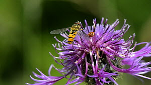 Slow motion clip of a Marmalade hoverfly (Episyrphus balteatus) feeding on pollen from and hovering around a Greater knapweed flower (Centaurea scabiosa), Wiltshire, England, UK, July. - Nick Upton