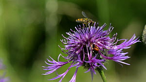 Slow motion clip of a Marmalade hoverfly (Episyrphus balteatus) feeding on pollen from and hovering around a Greater knapweed (Centaurea scabiosa) flower, Wiltshire, England, UK, July. - Nick Upton