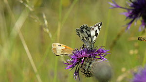 Slow motion clip of a Marbled white butterfly (Melanargia galathea) nectaring on a Greater knapweed (Centaurea scabiosa) flower before taking off, Wiltshire, England, UK, July.  -  Nick Upton