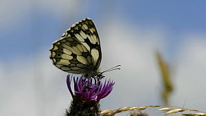 Slow motion cllip of a Marbled white butterfly (Melanargia galathea) nectaring on a Creeping thistle (Cirsium arvense) flower, with another trying to court with it, Wiltshire, England, UK, July. - Nick Upton