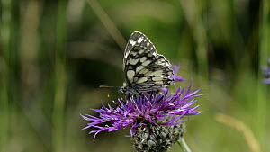 Marbled white butterfly (Melanargia galathea) nectaring on a Greater knapweed (Centaurea scabiosa) flower, with a female Thick-legged flower beetle (Oedemera nobilis), Wiltshire, England, UK, July. - Nick Upton