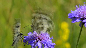 Close up view of a Marbled white butterfly (Melanargia galathea) nectaring on a Field scabious (Knautia arvensis) flower, with another trying to court with it, Wiltshire, England, UK, July. - Nick Upton