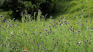 Slow motion wide angle clip of Marbled white butterflies (Melanargia galathea) and a White-tailed bumblebee (Bombus lucorum) flying around and nectaring on Creeping thistle (Cirsium arvense) flowers,...  -  Nick Upton
