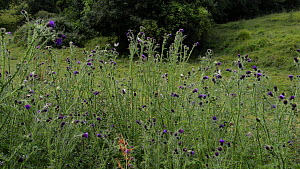 Wide angle clip of Marbled white butterflies (Melanargia galathea) and White-tailed bumblebees (Bombus lucorum) flying around and nectaring on Creeping thistle (Cirsium arvense) flowers, Wiltshire, En...  -  Nick Upton