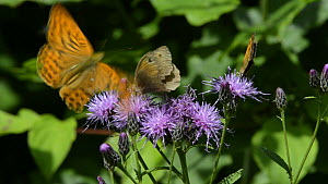 Slow motion clip of a Meadow brown butterfly (Maniola jurtina) and a Gatekeeper butterfly (Pyronia tithonus) nectaring on Saw-wort flowers (Serratula tinctoria), with a Silver-washed fritillary (Argyn...  -  Nick Upton